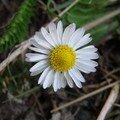 2008 04 19 Une fleur de Pâquerette