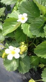 fraises fleurs1