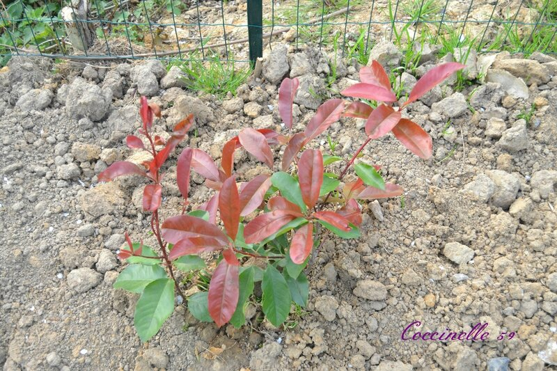 16 photinia rose