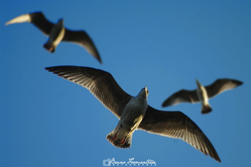 Mouettes_1