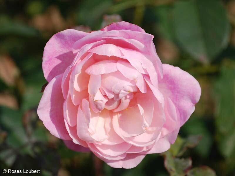 roses_lyonnaises-Irene_Watts