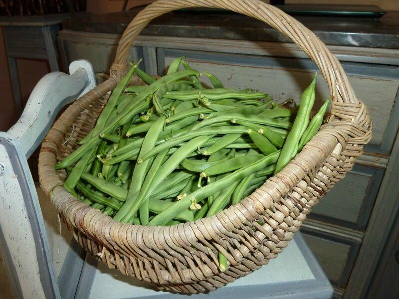 15-haricots récolte 2 aout (12)