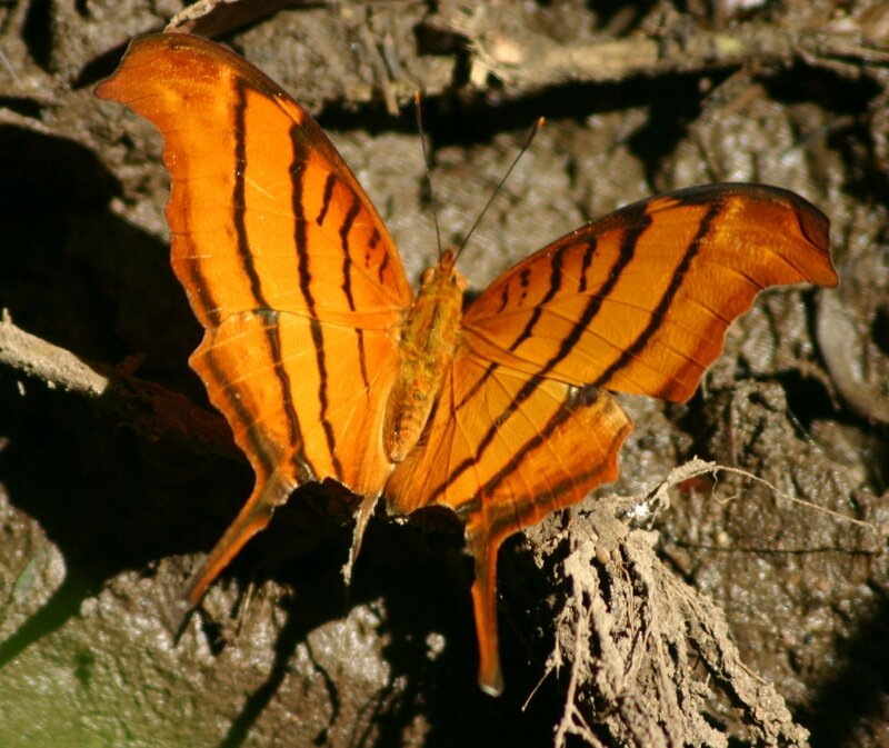 Tailed_flambeau_butterfly