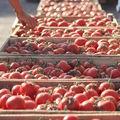 Tomates au marché de Parkent
