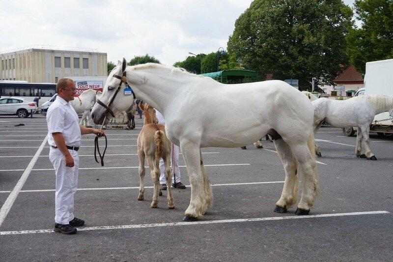 Bamby de Tachincourt - 17 Juin 2017 - Concours élevage local - St Pol sur Ternoise (62) - 4e (Suitées)