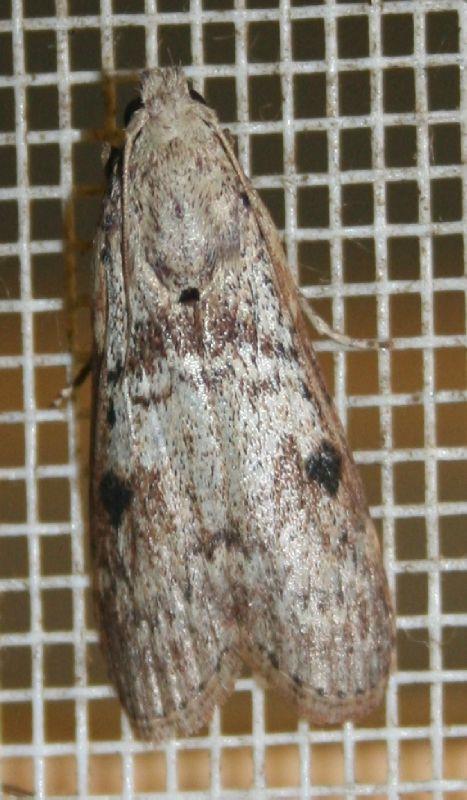 Lamoria clathrella