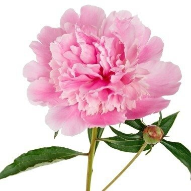 104031-pivoine-de-chine-rose_diapo_9