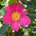 Camellia Sasanqua 'Vicomte de Noaille'