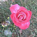 rose r oct 2011