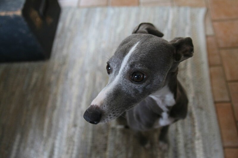 whippet gris