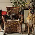 Élevage yorkshire terrier angers, éleveur de chiens