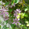 Clematite 'Nelly Moser'