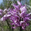 Orchis simia (orchis singe)