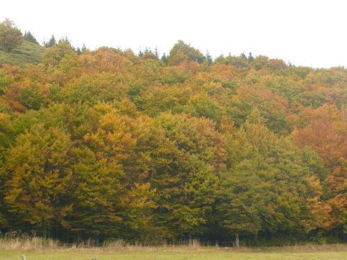 2008 10 07 Des fayards au belle couleurs d'automne