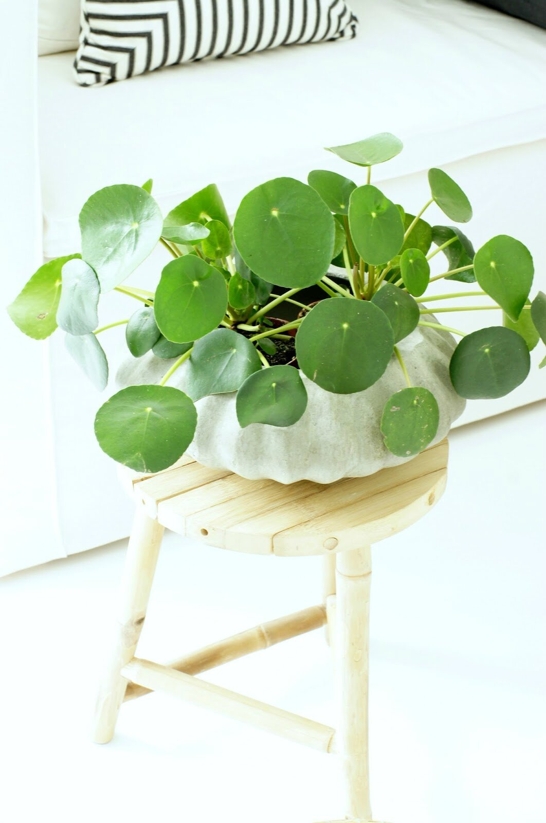 plantes d 39 int rieur pilea peperomioides ou plante monnaie chinoise always looking for. Black Bedroom Furniture Sets. Home Design Ideas