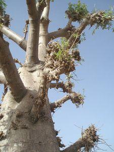 moignons de branches BAOBAB Mali