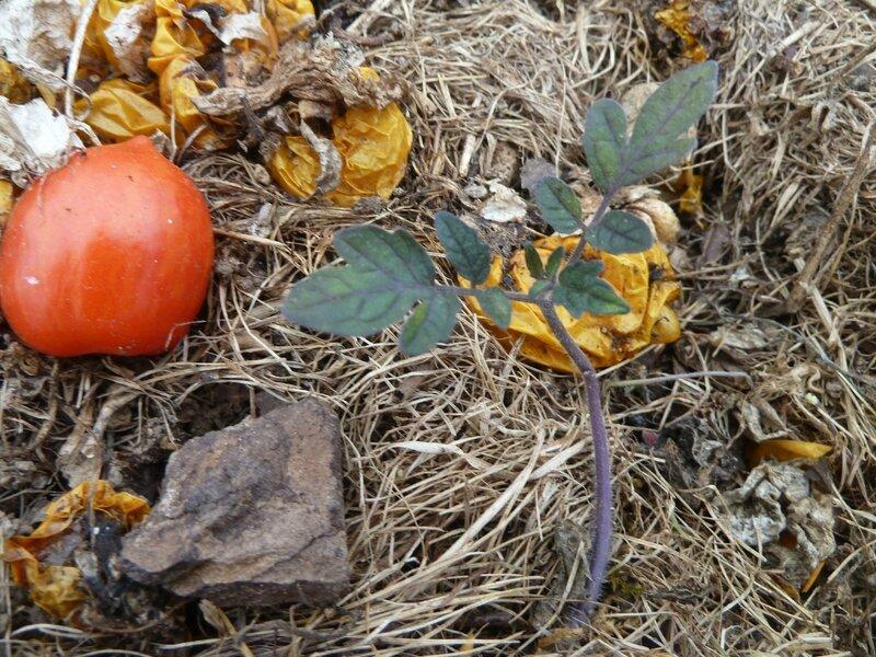 13-jeunes tomates (3)
