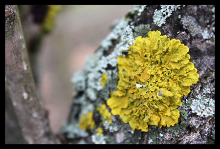 champignon_jaune