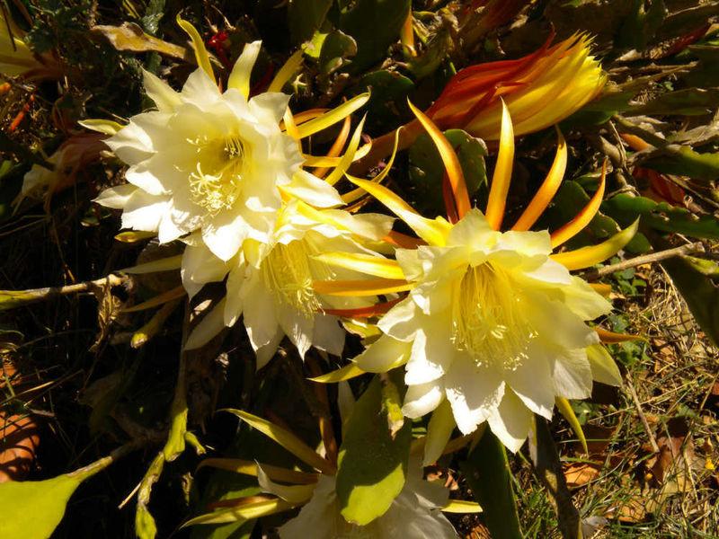 Cactus reine de la nuit tous les messages sur cactus - Voir tous les cactus ...