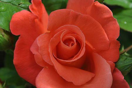 roses de mon jardin juin 2012 (16)