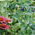 Echinacea 'ruby glow',cerinthe major 'purpurascens'.