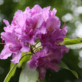 Rhododendron-01