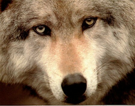 wolves_08