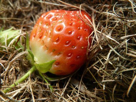 17- fraises dans la serre (3)