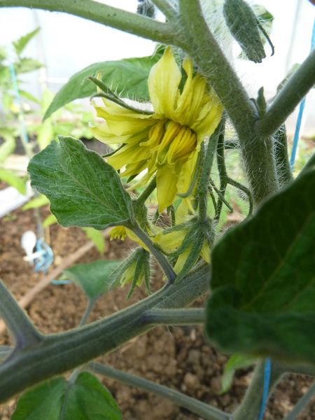20-fleurs de tomates (3)