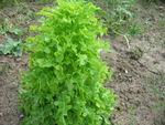 Choux__melon__carottes__oignons_blancs__salade_7