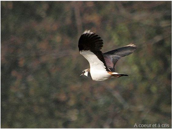 Oiseaux tous les messages sur oiseaux rose gris for Oiseau gris et blanc