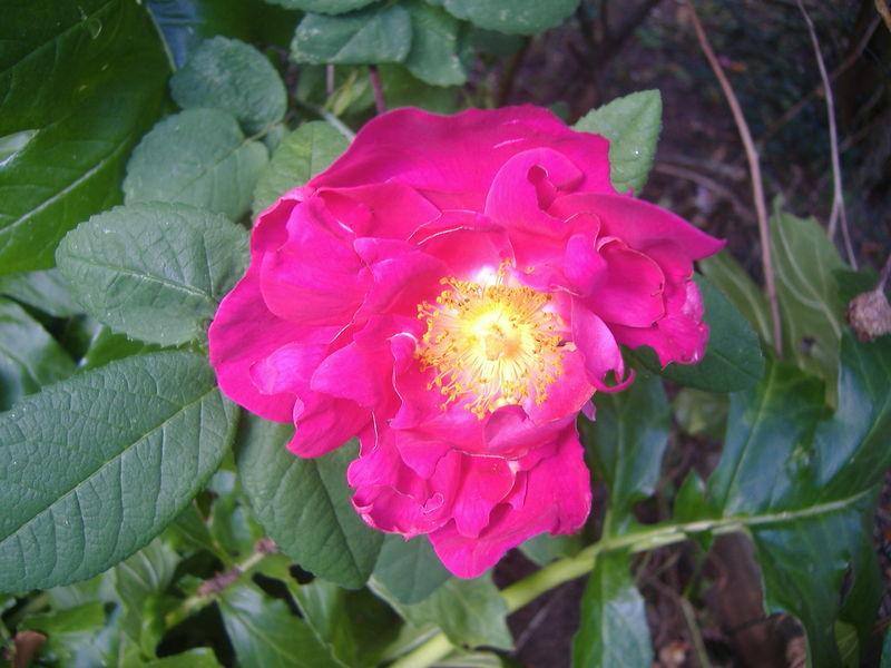 rosa gallica officinalis ou rose de provins (jardin)