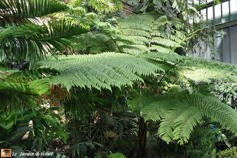 Fougères arborescentes • cyathea intermedia