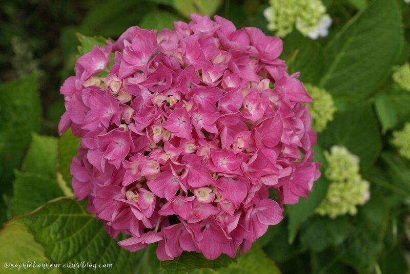 été hortensia grosse fleur