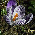 Crocus Blanc et Violet 3