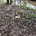 cèpe noir adulte au bord d'un ruisseau...