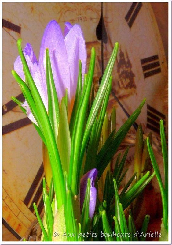 Bulbes de printemps (11)