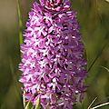 orchis pyramidal 2