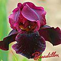 iris spectacular bid