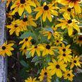 2009 09 07 Rudbeckias en fleurs