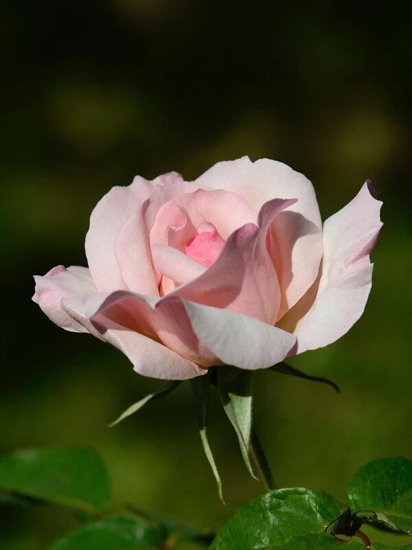 Rose Sophie 2 14-11-16