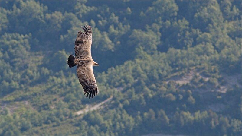 Castillo 130616 21 vautour vu dessus