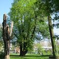 Le marronnier du parc des dondaines - lille