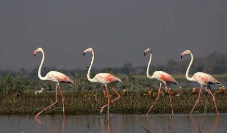 b849b10a4a_31547_12617-phoenicopterus-roseus-bhigwan-maharashtra-india-four-8