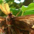 Attacus atlas - détail des antennes et de la tête