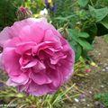 Une belle Rose…