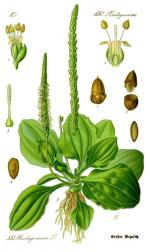 herbier grand plantain