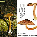 inocybe à bulbe marginé (カブラアセタケ)