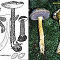 Austroboletus subvirens 2000 1006 14 (abc)