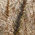 Des blés en juillet 2011